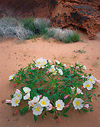 AA02004-03...NEVADA - Dune primrose blooming in Valley of Fire State Park.