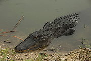American alligator (Alligator mississippiensis) in Everglades National Park, Florida.