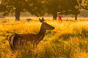 UNITED KINGDOM, London: 25 July 2019 <br /> A deer basks in the early morning light as the sun rises in Richmond Park on what could be the hottest day ever recorded in Britain. Temperatures are set to reach up to 39 degrees Celsius later today.<br /> Rick Findler / Story Picture Agency