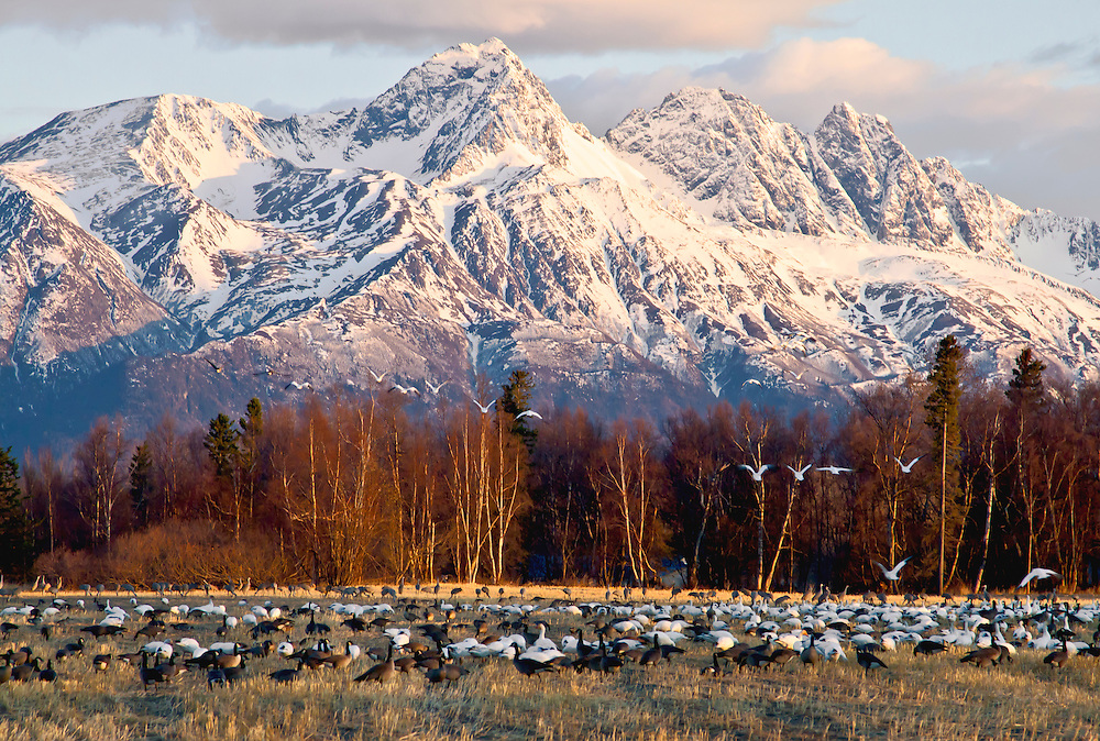 Alaska. Snow Geese (Chen caerulescens), Canada Geese (Branta canadensis) and Sandhill Cranes (Grus canadensis) in the foreground during a migration stopover on Matanuska Valley fields, with Chugach Mountains in the background.