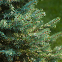 Fir Tree, Close Up, Plainfield, Illinois, USA