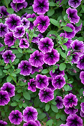 Petunia Littletunia 'Blue Vein'