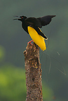An adult male Twelve-wired Bird of Paradise on his display pole in the swamp forest along the Karawari River.