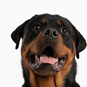 Head shot of slim Rottweiler looking up on white