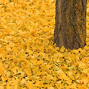 """Ginkgo Bliss"" 2<br />