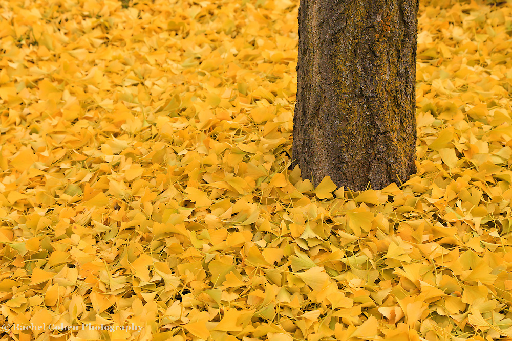 &quot;Ginkgo Bliss&quot; 2<br />