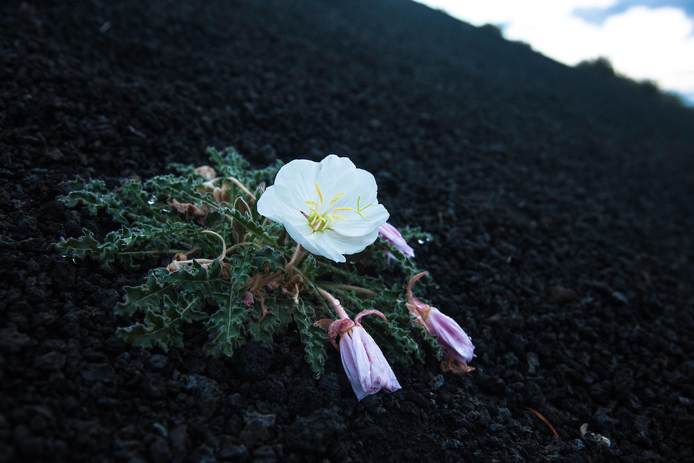 Evening Primrose at Sunset Crater National Monument