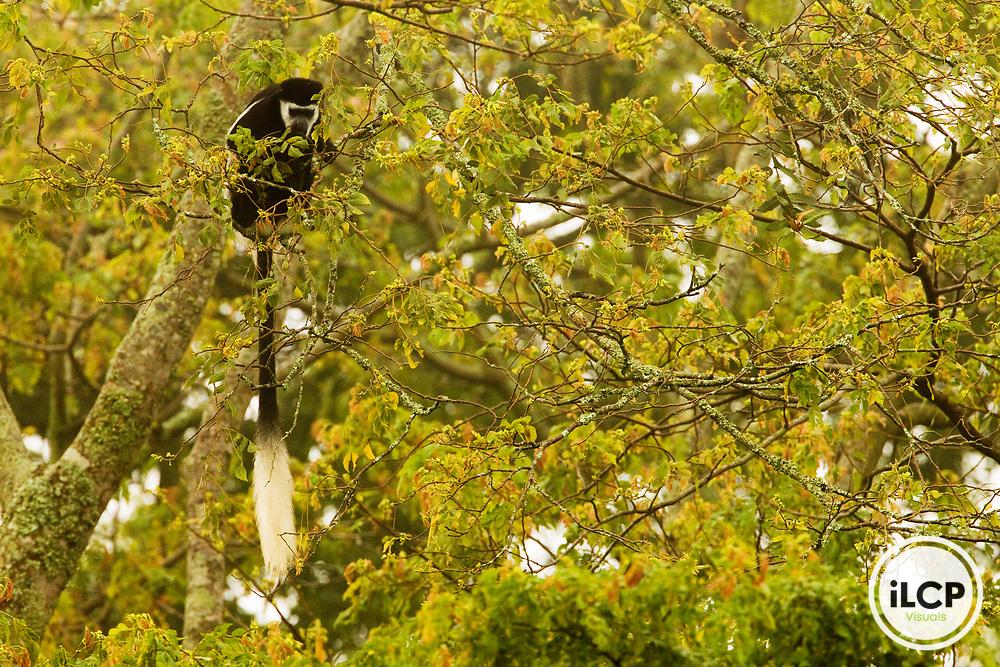 Mantled Colobus (Colobus guereza) feeding in rainforest tree, Kibale National Park, western Uganda