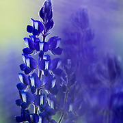 Mystical forest Soft focus Flowering Blue Lupin.