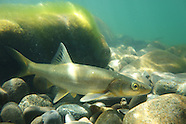 Northern Pikeminnow, Underwater