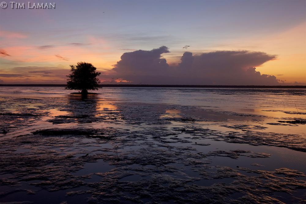 Scarlet Ibises (Eudocimus ruber) in flight at sunset over the Orinoco River Delta, Venezuela.