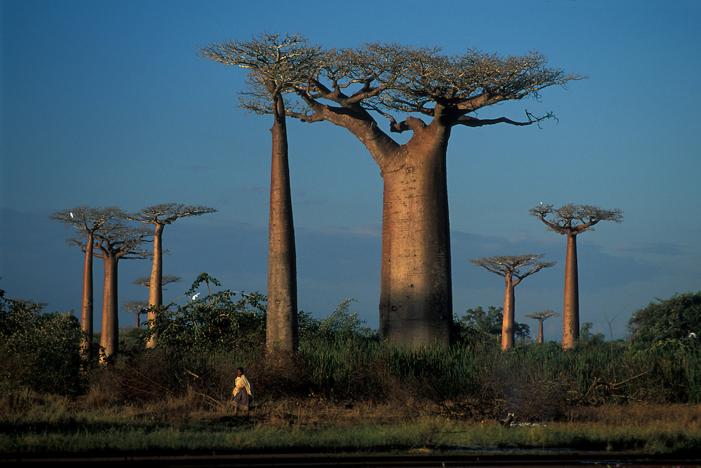 Avenue of the Baobabs, Morondava, Madagascar,