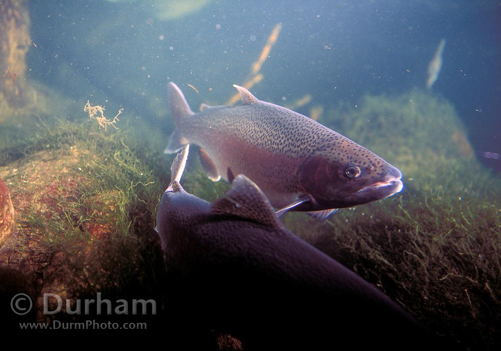 Rainbow Trout (Oncorhynchus mykiss) in Western Oregon.