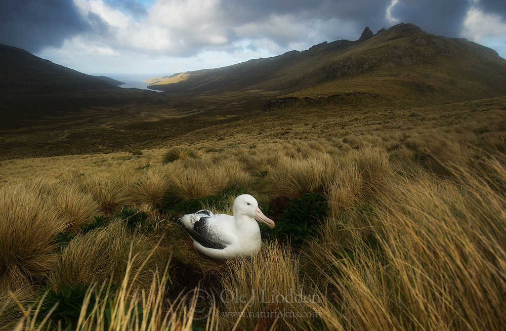 Southern royal albatross {Diomedea epomophora} on nest, Campbell Island, New Zealand