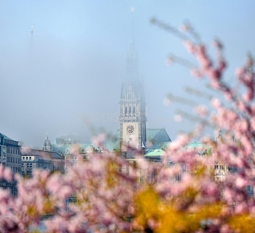 Hamburger Rathausturm und Kirschblüten an einem nebligen Morgen. Der Turm der St. Petrie-Kirche ist fast ganz im Nebel verschwunden, nur die Spitze ist zu sehen.
