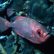 Glasseye Snapper inhabit shallow reefs, often drift in recesses,under ledges and other protected areas in Tropical West Atlantic; pucture taken Grand Cayman.