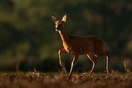 Roe Deer (Capreolus capreolus) doe in ploughed field at dawn, Norfolk, UK.