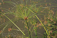 Showy grasses decorate pond edge in Tower Grove Park in St. Louis, Missouri.