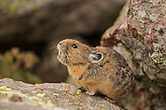 Pikas are often heard before they are seen as they frequently emit high-pitch alarm calls whenever they notice anything out of the ordinary. Spend some time quietly observing them, however, and these tiny rock dwellers will approach rather closely, seemingly oblivious to your presence.