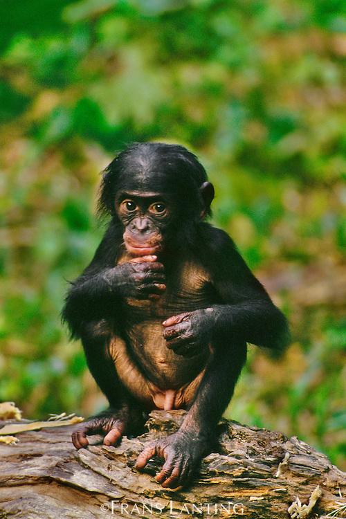 Bonobo infant male, Pan paniscus, D.R. Congo