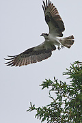 Osprey, Maine, North America