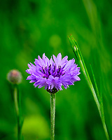 Bachelor Button (Cornflower). Image taken with a Fuji X-T2 camera and 100-400 mm OIS lens.