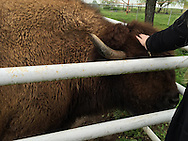 YES! THAT'S A BISON! HE'S VERY TAME AND FRIENDLY! YOU NEVER KNOW WHAT WE'RE GOING TO SEE ON OUR SITE VISITS!