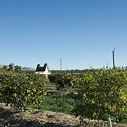 Lemon trees in farm. Oxnard, CA. USA.