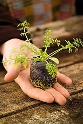 Hand holding a young seedling of Nigella 'Deep Blue' in a Jiffy 7