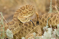A prairie rattlesnake (crotalus viridis) is coiled and ready to strike in self-defense.  These common rattlesnakes are seen in grassy areas where there are rocky outcrops where they can breed and hide from predators.  They are an integral part of the food chain and eat small animals, mostly rodents and give live birth from 9-20 babies in late summer.  They hibernate underground in winter.