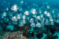 Large school of Longfin Spadefish<br /> <br /> Shot in Indonesia