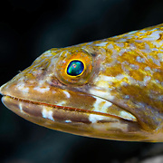 Underwater close-up shows head of Reef Lizardfish (Synodus variegatus) in Belize Barrier Reef inside South Water Caye Marine Reserve, Belize