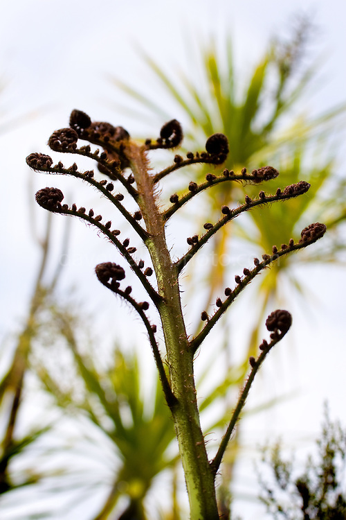 Unfurling tree fern frond or koru on the island of Tiritiri Matangi