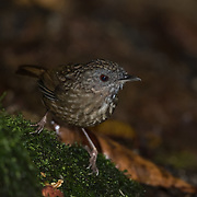 The streaked wren-babbler (Napothera brevicaudata) is a species of bird in the Pellorneidae family. Its natural habitat is tropical moist montane forests.