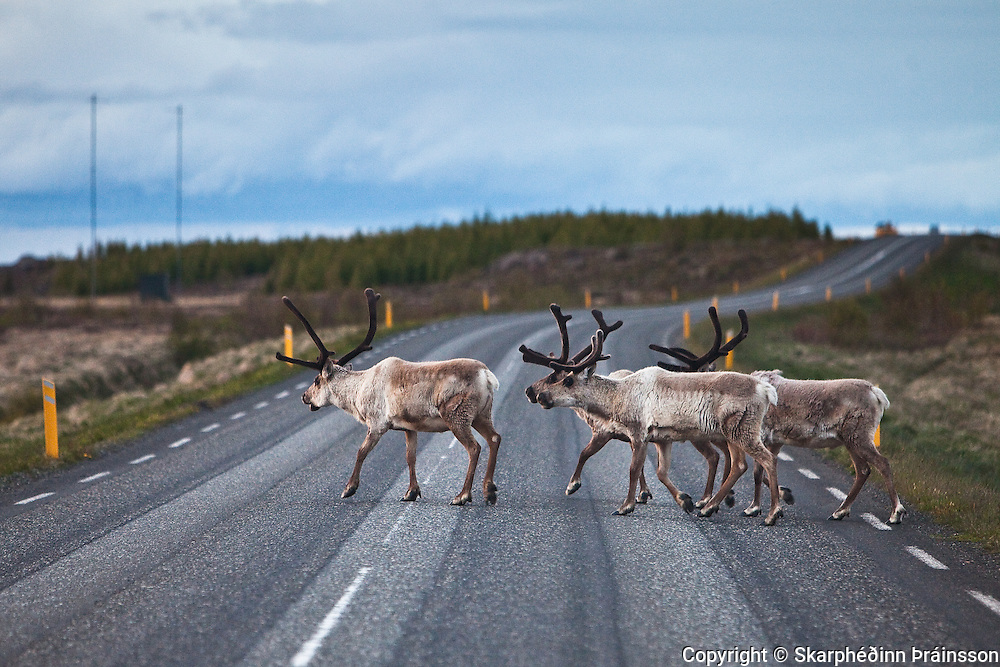 Reindeer crossing the highway near Egilsstaðir, east Iceland