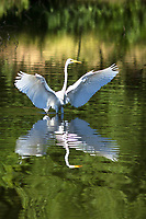 I used the lush green background trees to make this great egret reflection photo really stand out.