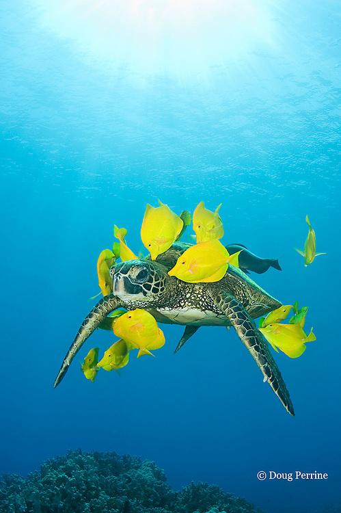green sea turtle, Chelonia mydas ( Threatened Species in Hawaii; Endangered elsewhere), being cleaned of algae by yellow tangs, Zebrasoma flavescens ( herbivorous surgeonfish ), Puako, Kona, Hawaii, U.S.A. ( Central Pacific Ocean )