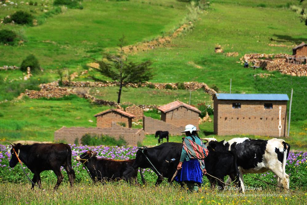 Quechua woman herding cows near Vacas, Cochabamba, Bolivia