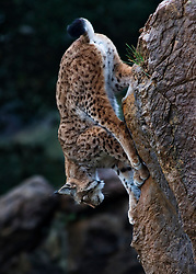 A lynx is decending from a rocky cliff in the Wildlife Park of Cabárceno in Spain.