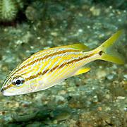 French Grunt young inhabit reefs in Tropical West Atlantic; picture taken Blue Heron Bridge, Palm Beach, FL.