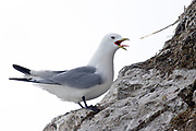 Black-legged Kittiwake (Rissa tridactyla) in a bird-cliff at Hornsund, Spitsbergen, Svalbard