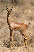 Male Gerenuk or Wallers Gazella (Litocranius walleri) in Samburu National Park, Kenya.
