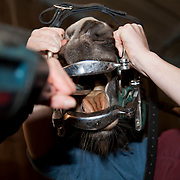 Veterinarian excamening a horse (Eqqus Caballus),  Dental examinations, Auvergne, France