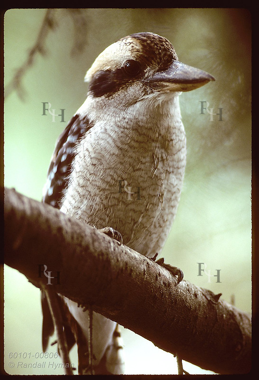 Kookaburra perches on a branch at the zoo in Wagga Wagga, New South Wales (v). Australia