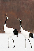 JAPAN, Eastern Hokkaido.Red-crowned cranes (Grus japonensis) calling in unison.(IUCN 2010: Endangered)