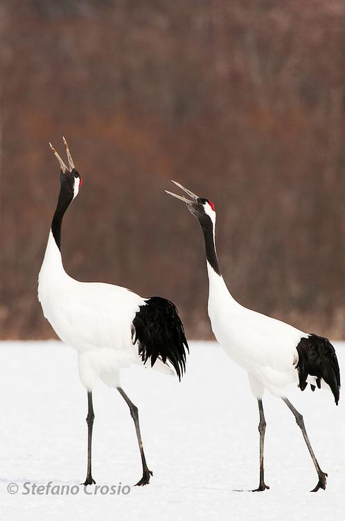 JAPAN, Eastern Hokkaido.Red-crowned cranes (Grus japonensis) calling in unison.(IUCN 2010: Endangered)
