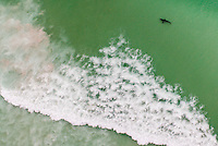A Great White Shark swims behind back-line in the De Hoop Marine Protected Area, Western Cape, South Africa