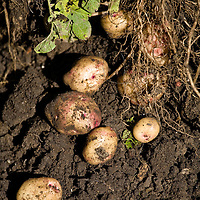 Heritage potato harvest.