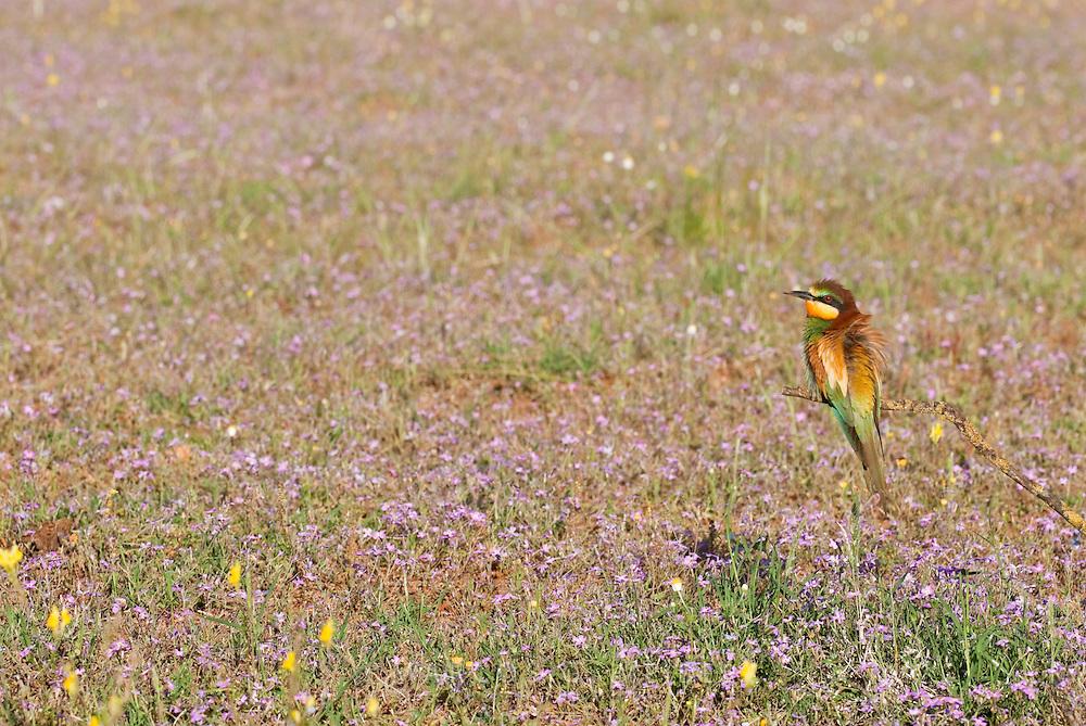 EN. European Bee-eater (Merops apiaster) perched on branch in open field with flowers. Andalucia, Spain<br /> ES. Abejaruco com&uacute;n (Merops apiaster) posado en una rama sobre un campo lleno de flores. Andaluc&iacute;a, Espa&ntilde;a