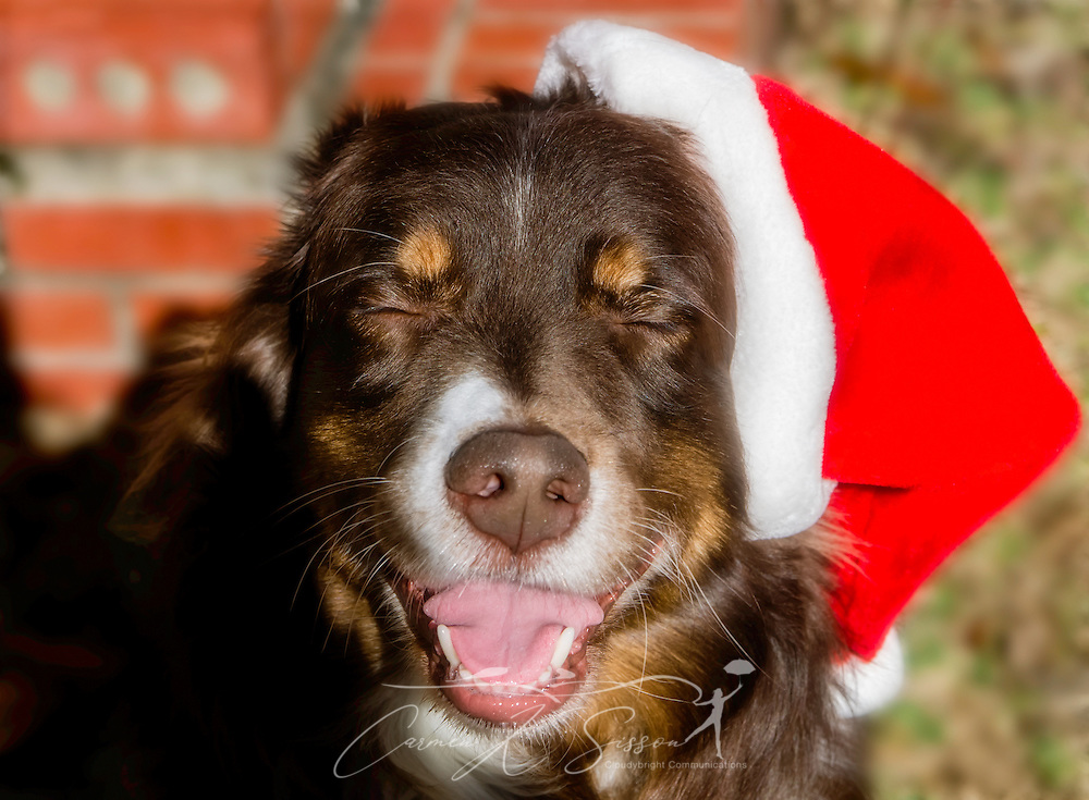 Cowboy, a red-tri Australian Shepherd, closes his eyes as he laughs while wearing a Santa hat on Christmas Eve, Dec. 24, 2013. (Photo by Carmen K. Sisson/Cloudybright)